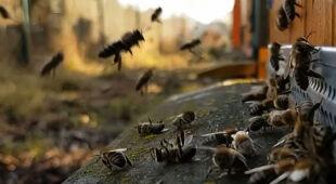 Jest wiosennie - pszczoły się budzą