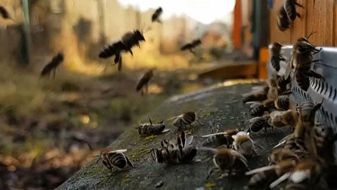 Pszczoły poczuły wiosnę. To może skończyć się dla nich tragicznie