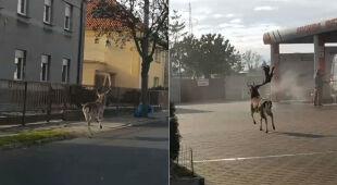 Daniel biega po ulicach Ostrowa Wielkopolskiego