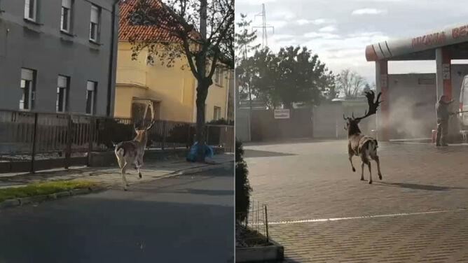 """""""Dziwna sytuacja"""". Daniel biegał na ulicach Ostrowa Wielkopolskiego"""