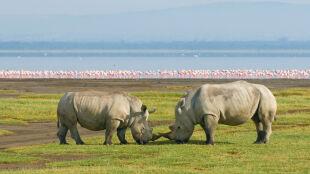 Największa rzeź nosorożców w historii. Wszystko przez azjatyckie zabobony