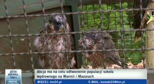 Czeskie sokoły przybyły do Polski. Będą latać nad Warmią?