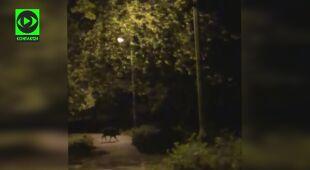 Dziki biegają po Krakowie